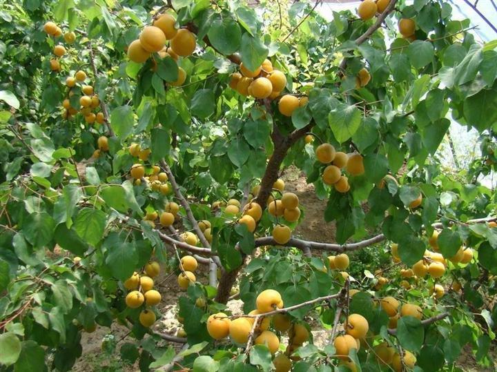 安阳好品种李子苗新品种种植-红专种苗场