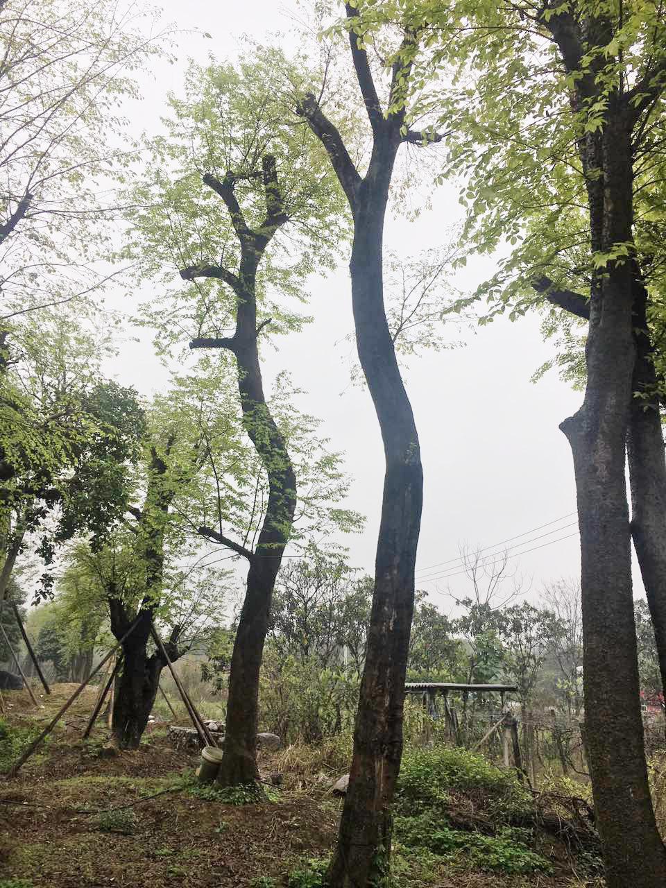 猜猜什么树,世界三大观赏树之一的,耐阴耐旱又耐寒