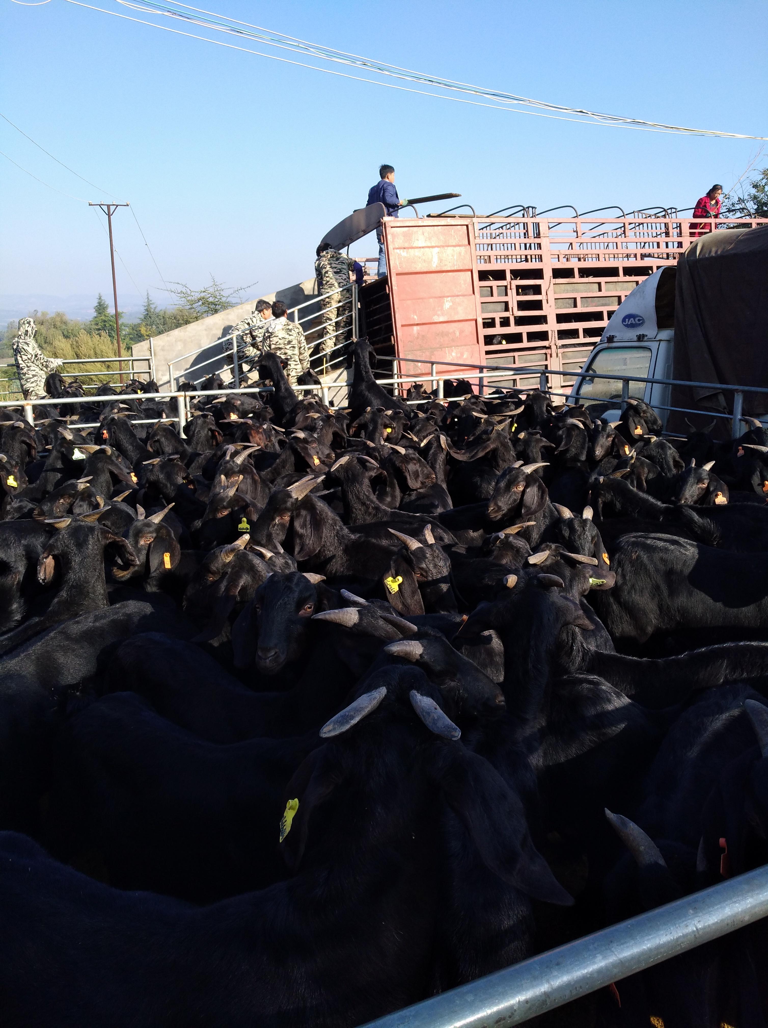 贵州放养黑山羊养殖哪家好-红龙种羊场