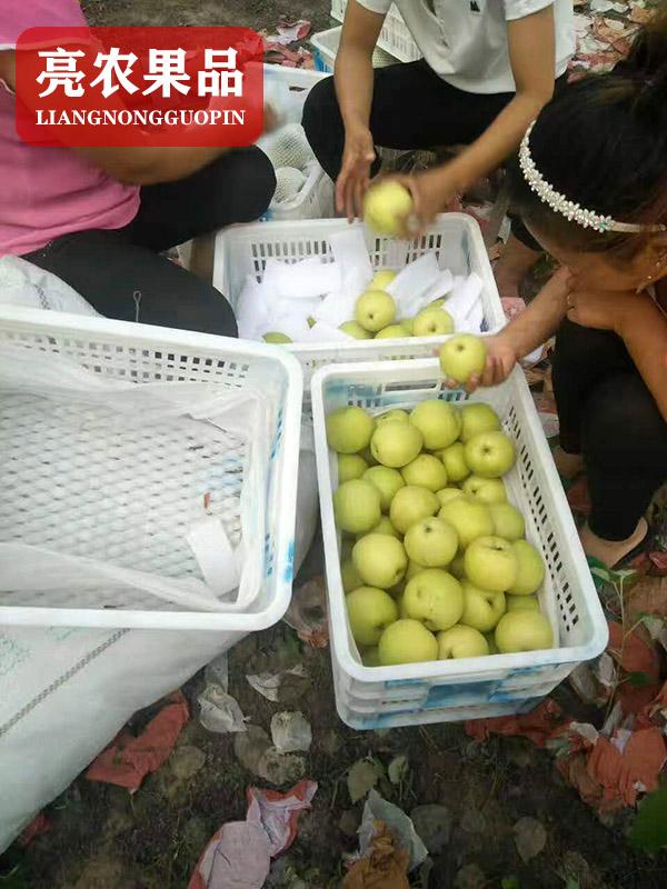 廣東供應萊陽梨產地在哪里-亮農果品
