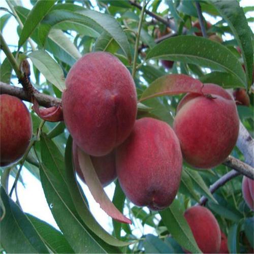 内蒙果树苗品种-鼎源苗木繁育中心