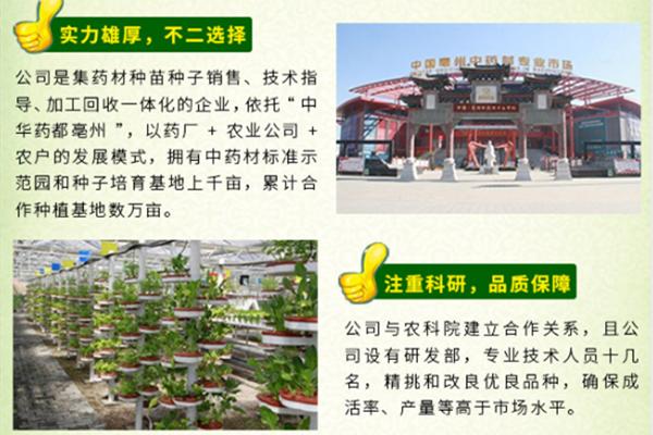 甘肅名貴何首烏種植產地-亳州市眾協藥材種植專業合作社