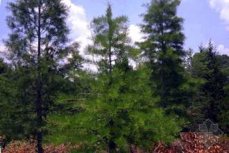 重慶供應園林樹木圖片-桐鄉華林苗木