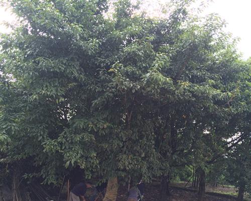 遵義精品金山葵報價-綠茵園林綠化