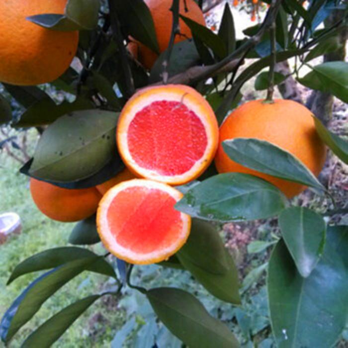 廣西金桔蜜柚苗哪家好-正達蜜柚種苗