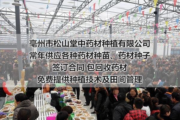 山东求购藏红花种球基地-亳州松山堂中药材种植公司