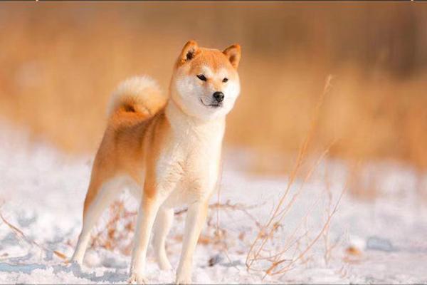 沈阳纯正柴犬幼犬