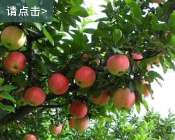 唐山购买盆景苹果树基地