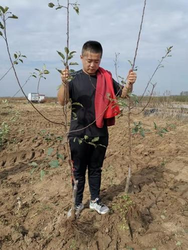 临汾脱毒苹果树苗栽培