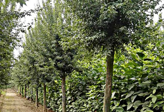 十公分樟木市场