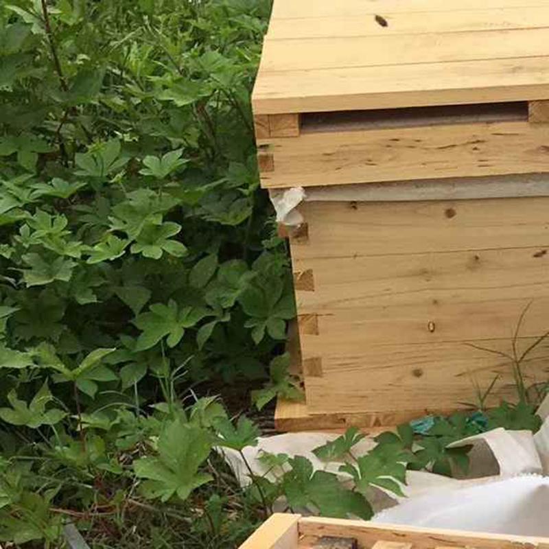 宁波中华蜜蜂出售