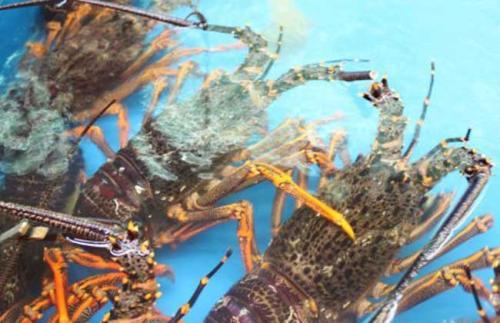 湖南室内养殖龙虾哪里有