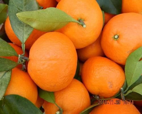 象山农户真厉害,一斤橘树枝竟卖出5万元,这里面... 柑橘