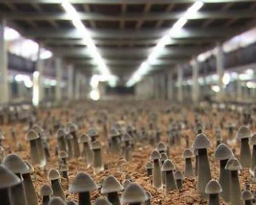 龍泉黑雞樅菌種植