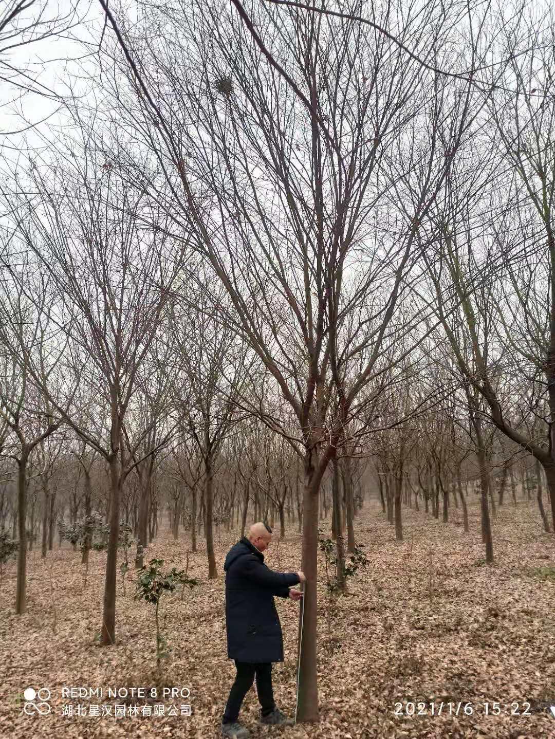 宜城20公分桂花樹公司