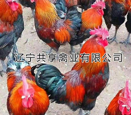 大慶蘆花公雞產地