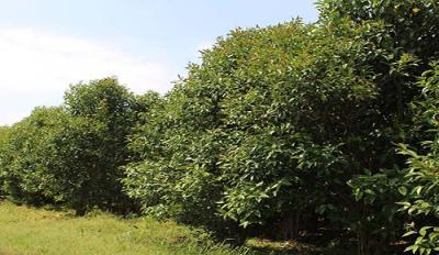 杭州中山杉树苗多少钱